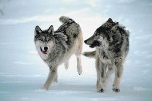 The Battle Between 2 Wolfs